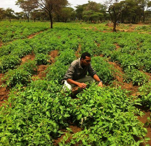 tomato field in aaga agro farm in babile