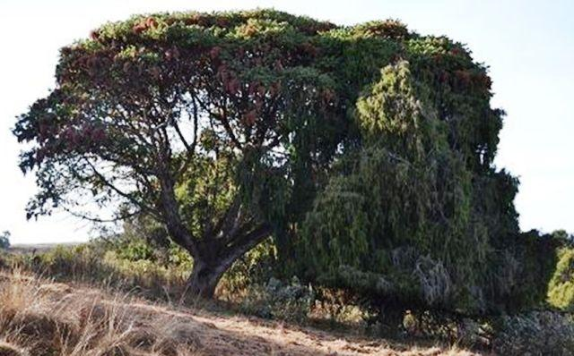 hagenia abyssinica and Juniperus procera in ethiopia