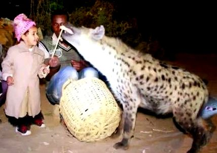 hyena feeding in ethiopia