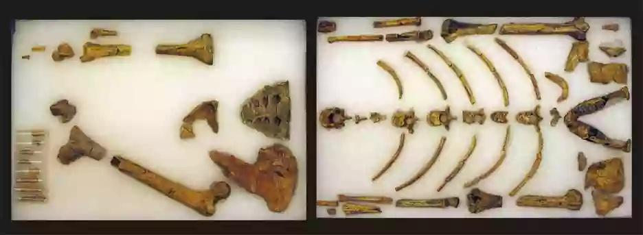 lucy bones laid out on display in ethiopia